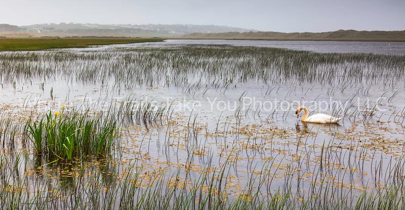 Swan and Wild Yellow Iris