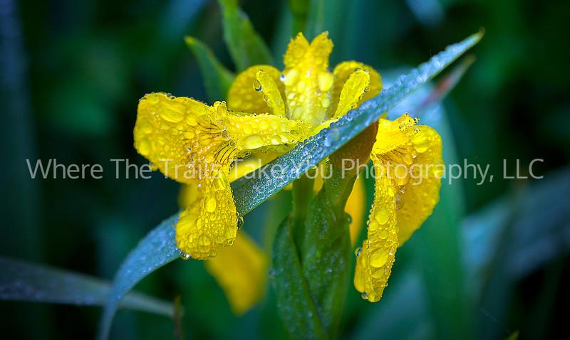 79  Raindrops on Wild Iris - these flowers were prolific throughout Ireland.