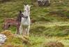 Connemara Ponies CROP