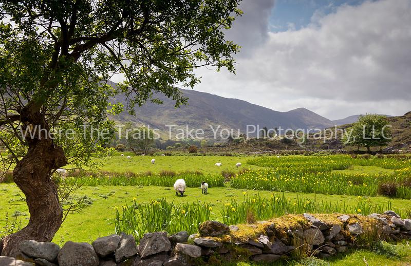 136  Sheep, Wild Iris, and Irish Countryside