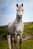 93  Connemara Pony