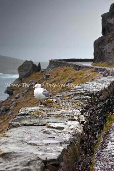 146  Hardy Mr. Seagull, Dingle Peninsula, Ireland