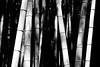 Japan, Kyoto - Bamboo stalk abstract (black and white)