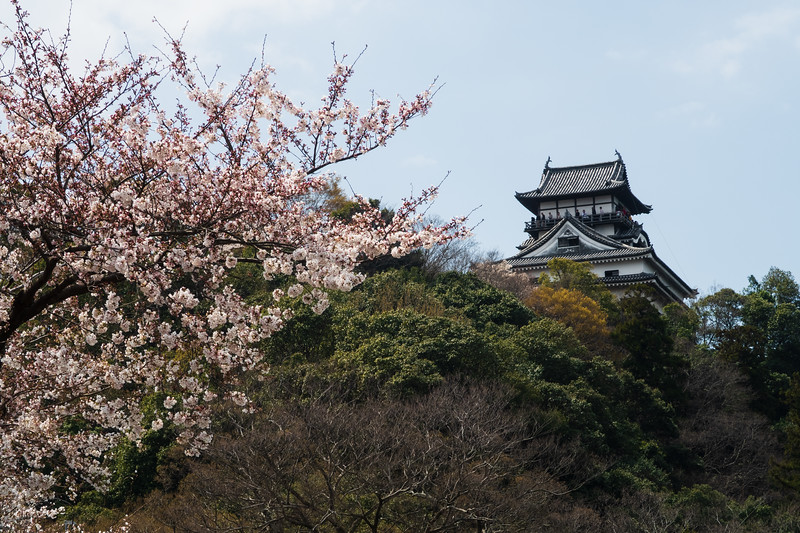 Japan, Inuyama - Inuyama Castle and cherry blossoms