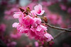 Japan, Nagoya - Cherry blossoms 2