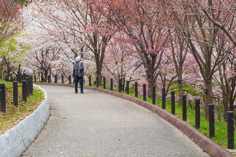 Japan, Nagoya - Higashiyama botanical gardens with cherry blossoms