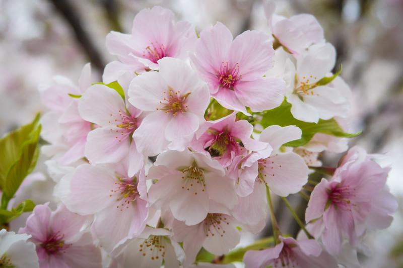 Japan, Nagoya - Cherry blossoms 1