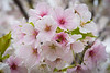 Japan, Nagoya - Cherry blossoms 1