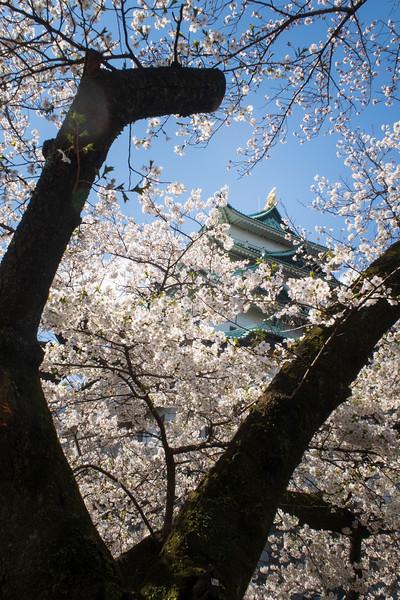 Japan, Nagoya - Nagoya Castle with cherry blossom tree