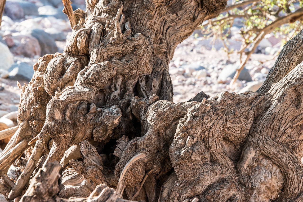 Gnarled tree trunk near Feynan Ecolodge. Feynan, Jordan.