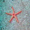 Starfish. Red Sea. Aqaba, Jordan.