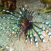 Lion Fish. Red Sea. Aqaba, Jordan.