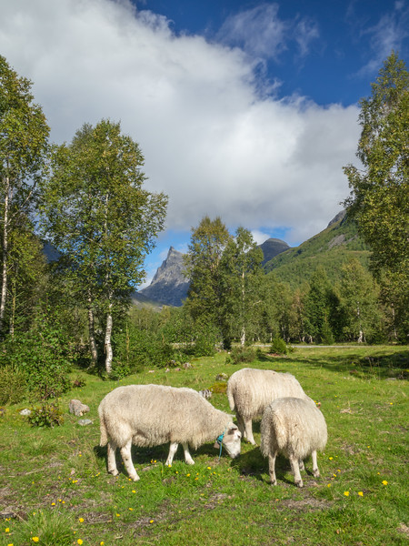 Norway, Horndøla Bru - Three sheep grazing in a field in a typical Norwegian scene