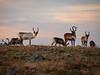 Norway, Jotunheimen - Herd of reindeer at sunset