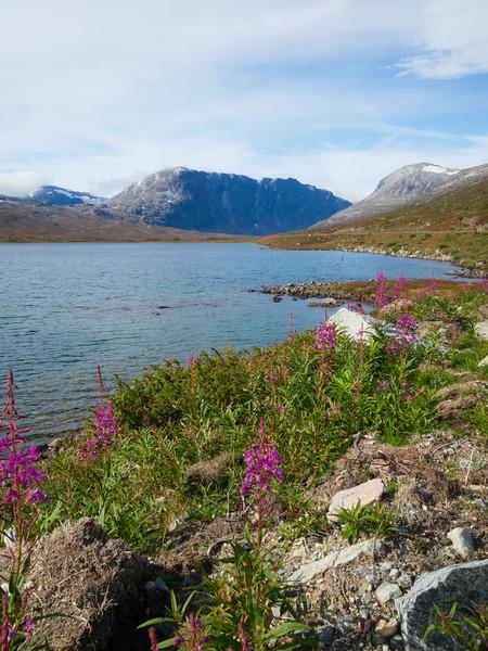 Norway, Geiranger - Flowers along roadside lake