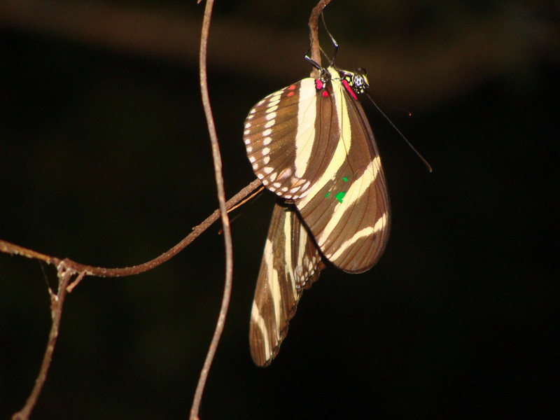 Zebra butterflies (Heliconius charitonius) roost together at night. [Photo credit:  Lisa Manne]