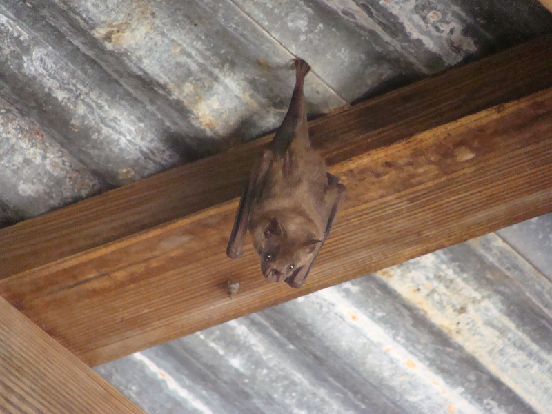 A bat hangs from the rafters of an abandoned sugar mill.