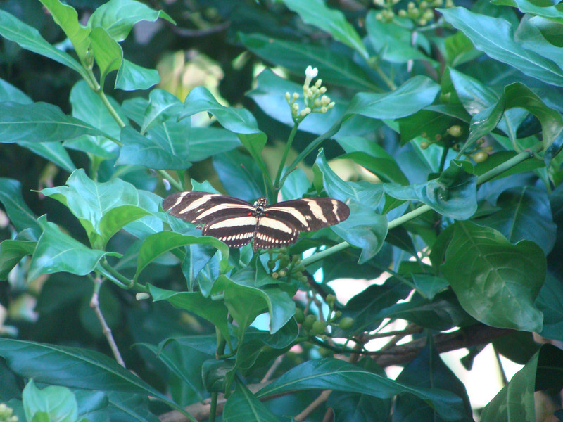 Zebra butterfly.  [Photo credit:  Lisa Manne]