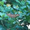 Zebra butterfly.  [Photo credit:  Lisa Manne]
