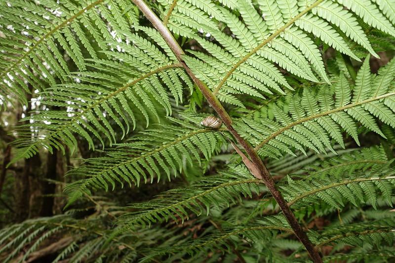 Snail on a tree fern