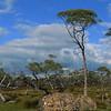 Eucalypt tree - so pretty against the blue sky