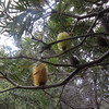 Banksia tree