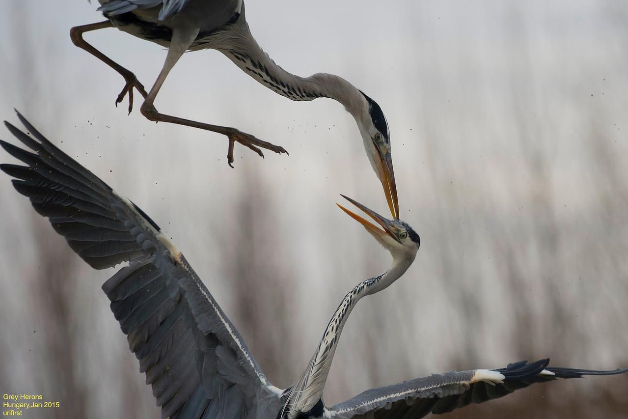 Grey Herons