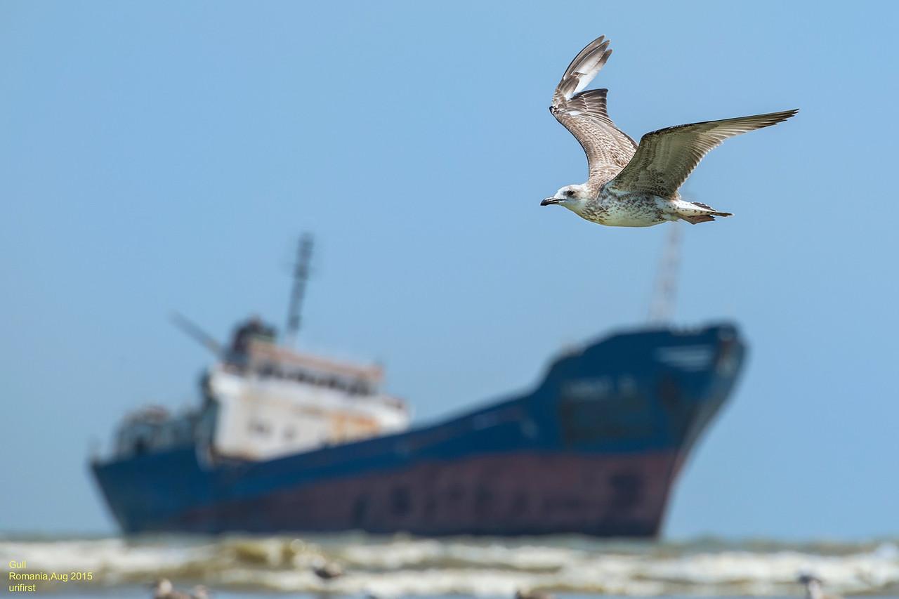 שחף וספינה טרופה בים השחור