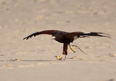 Harris Hawk at the desert camp