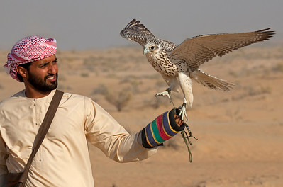 Falconer with White Gyrfalcon in desert.