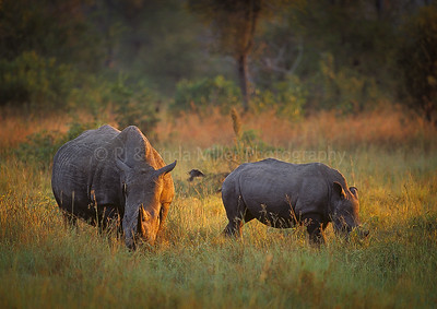 Rhinoceroses, Mother with Baby, Sabi Sabi Game Preserve, South Africa, Africa