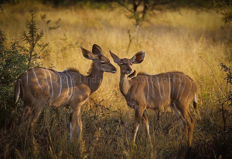 Kudu, Sabi Sabi Game PreserveSouth Africa, Africa
