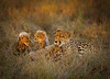 Mother Cheetah with Cubs, Sabi Sabi Game Preserve, South Africa, Africa