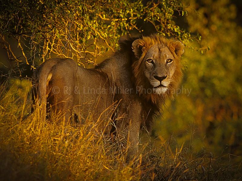 African Lion, Sabi Sabi Game Preserve, South Africa, Africa