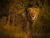 African Lion, Sabi Sabi Game Preserve, South Africa, Africa