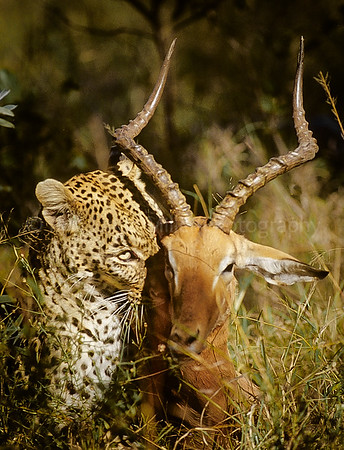 Leopard with Impala in Mouth, Sabi Sabi Game Preserve, South Africa, Africa