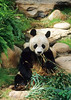 Panda Bear, Hong Kong Zoo, Hong Kong, China, Asia, Asian