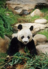 Panda Bear, Hong Kong Zoo, China, Asia, Asian