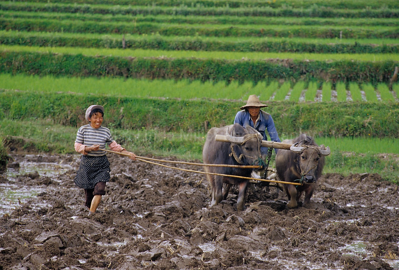Farmer Behind Water Buffalo, Plowing Rice Paddies, Dali, Yunnan Province, China, Asia, Asian