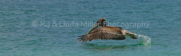 Caribbean Brown Pelican, St. Thomas, US Virgin Islands, Caribbean