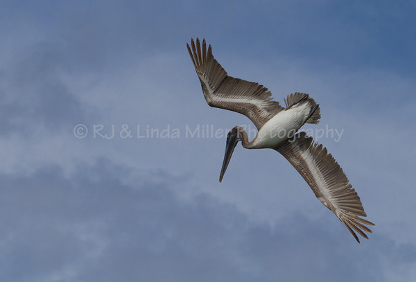 Caribbean Brown Pelican, St. Thomas, US Virgin Islands, Caribbean