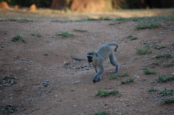 Kruger Vervet Monkeys