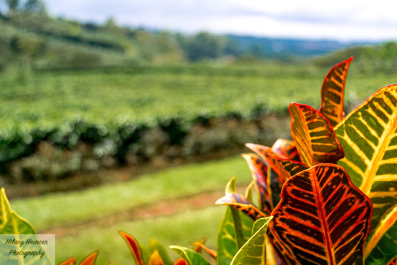 Hidden Coffee Fields