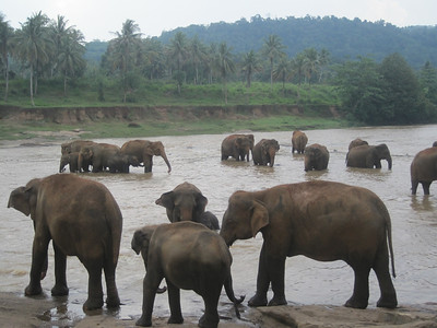 Something you can see plenty of in Sri Lanka ... elephants.