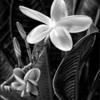 Plumeria (monochrome)