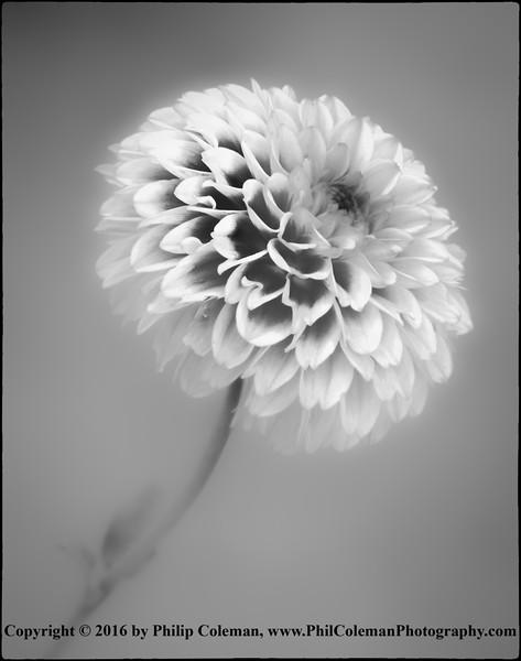 Dahlia Abstract