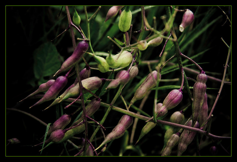 Weed Pods