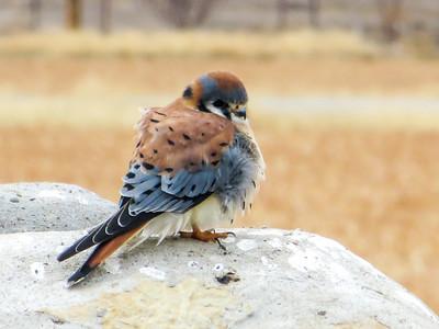 Birds of El Paso, West Texas, & Southern New Mexico