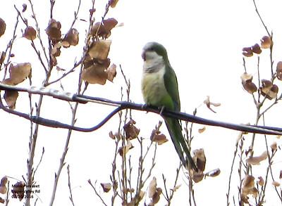 Monk Parakeet, Upper Valley Rd 02/20/2016