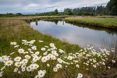 Summer Daisies, Lower Salt Creek near Joyce, Washington